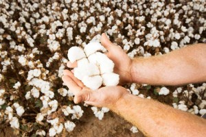 Southern valleys cotton held in hands